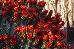 Claret cup cactus in full bloom, Fort Davis, Texas.