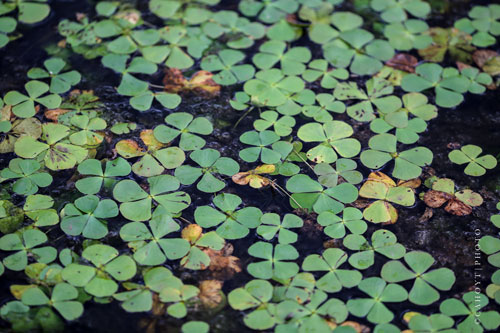 Water Clover (Marsileaceae) is a Chihuahuan Desert fern that grows in puddles during the rainy season.