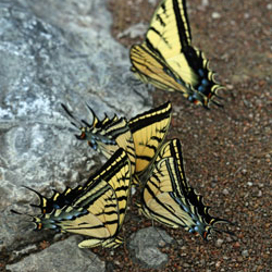 Two-tailed swallowtails