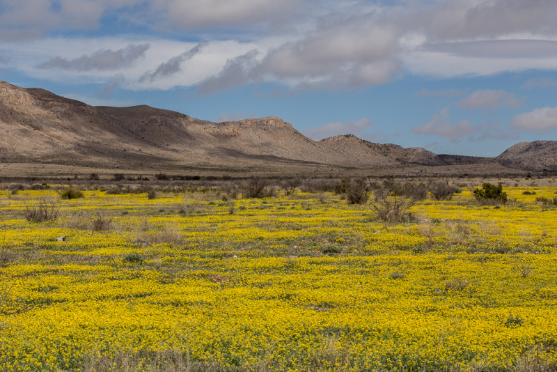 Mustard wildflowers carpet a pasture in the Chihuahuan Desert near Marathon, Texas.
