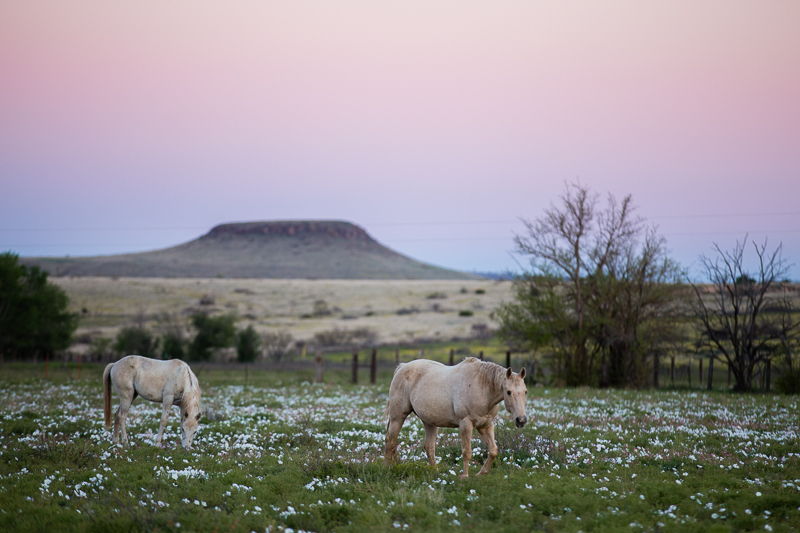 Prairie evening primroses dot a pasture near Fort Davis, Texas.