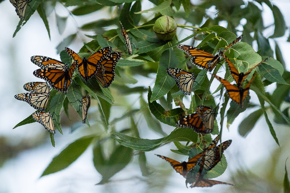 Monarchs roost in a pecan tree in Alpine, Texas