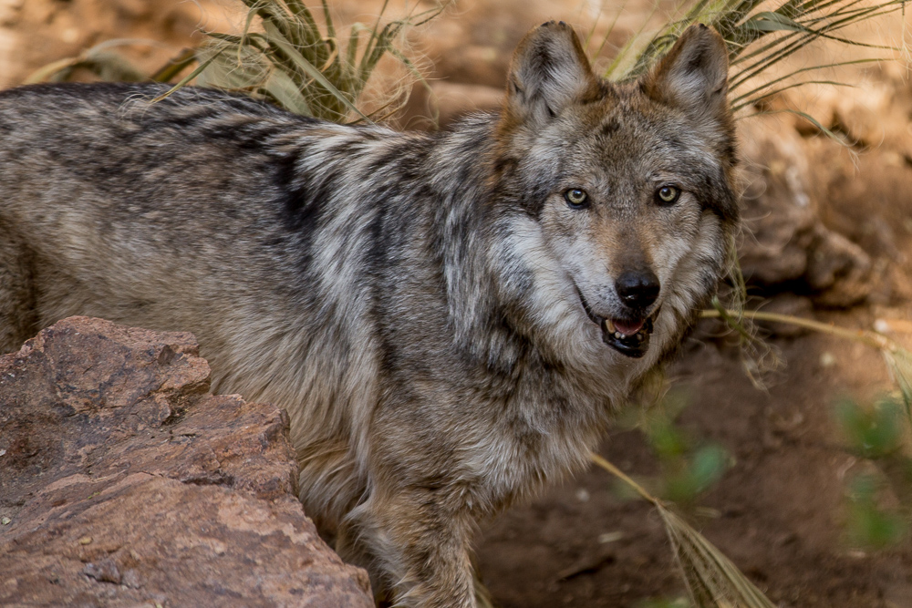 Mexican Grey Wolf in the El Paso Zoo, Texas.