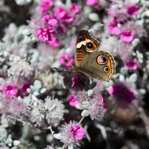 Common Buckeye on Plume Tiquilia
