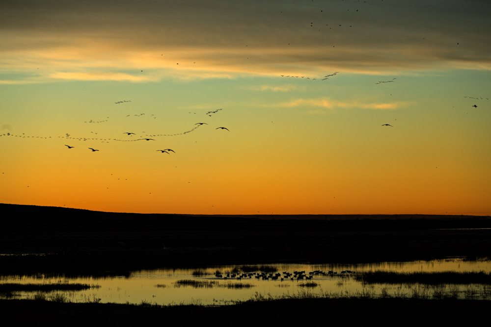 Sandhill Cranes and geese head south