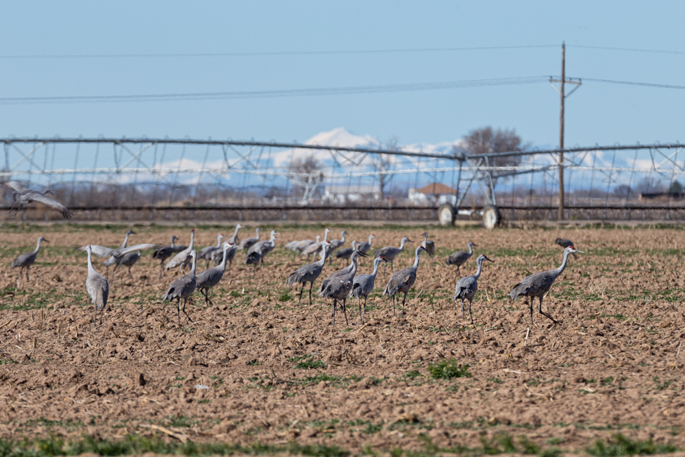 During the day, Sandhill Cranes forage in tilled fields.