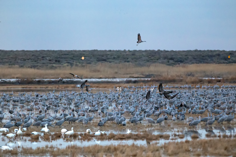 Hundreds of Sandhill Cranes gather in the shallow ponds for the night.
