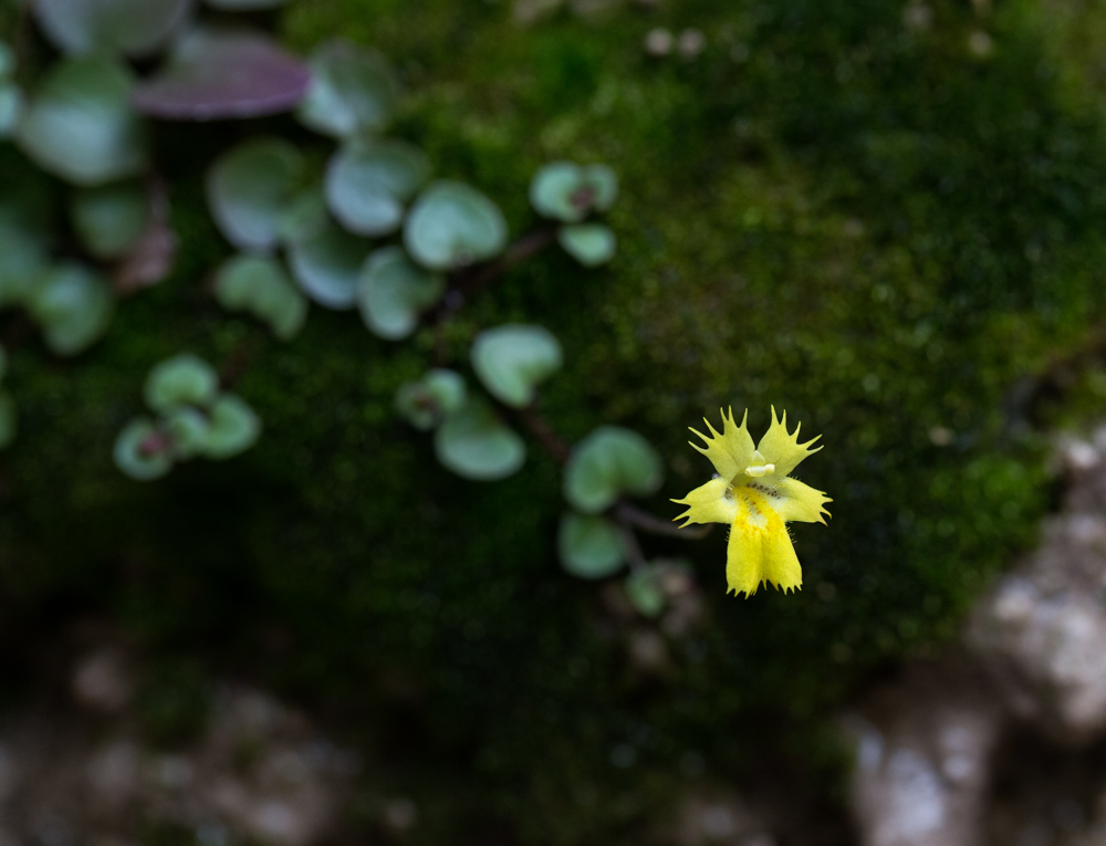 The tiny, yellow, fringed monkeyflower hangs from the wet walls of the canyon.