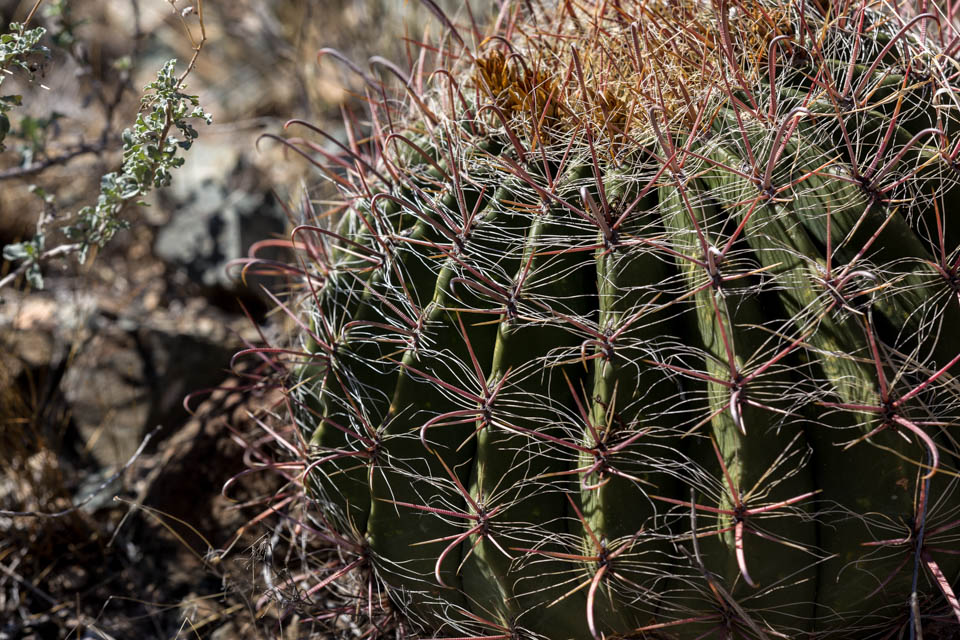 Arizona Barrel Cactus (Ferrocactus wislizeni) have hook-shaped spines that can grab an unsuspecting ankle.