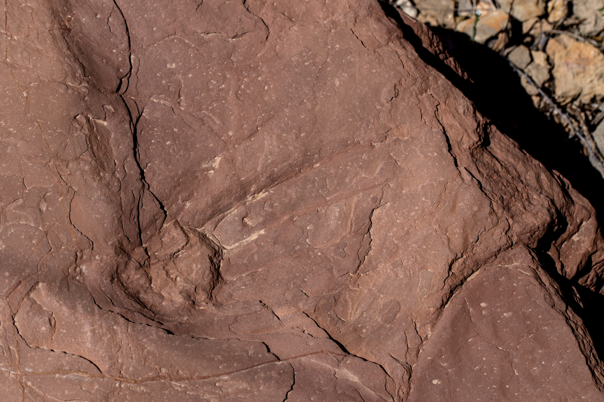 Tracks of a Dimetrodon are deeply impressed into red siltstone.